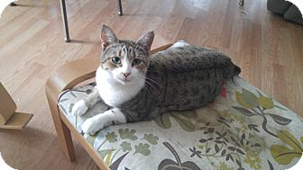 Domestic Shorthair Cat for adoption in Tampa, Florida - Penelope