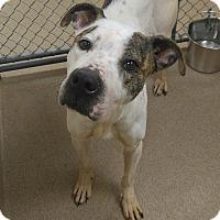 Adopt A Pet :: 1-13 Layla - Triadelphia, WV