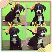 Adopt A Pet :: Maddie - South Gate, CA