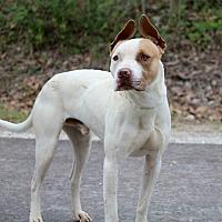 Adopt A Pet :: Midas - Covington, TN