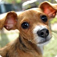 Adopt A Pet :: Trinket - Antioch, CA