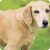 Adopt A Pet :: A - HONEY - Burlington, VT
