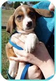 Beagle/Spaniel (Unknown Type) Mix Puppy for adoption in Hagerstown, Maryland - Squiggles
