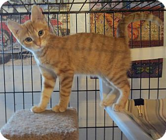 Domestic Shorthair Kitten for adoption in Geneseo, Illinois - Aries
