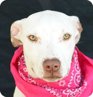 Pit Bull Terrier Mix Puppy for adoption in Plano, Texas - Cloud