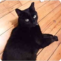 Adopt A Pet :: Senor Gato - New York, NY