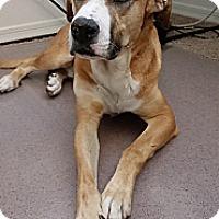 Adopt A Pet :: Rambo - Gilbert, AZ