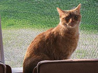 Domestic Mediumhair Cat for adoption in Cincinnati, Ohio - zz 'Dominic' courtesy listing