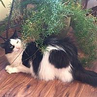 Domestic Longhair Cat for adoption in Leonardtown, Maryland - Bella Donna