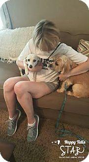 Dachshund/Terrier (Unknown Type, Medium) Mix Dog for adoption in Northville, Michigan - zChloe -ADOPTED