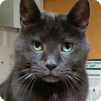 Domestic Shorthair Cat for adoption in Norwalk, Connecticut - Shadow
