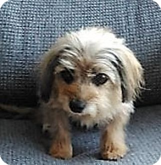 Yorkie, Yorkshire Terrier/Dachshund Mix Dog for adoption in bath, Maine - MINNIE special needs