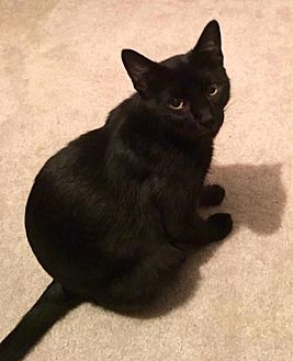 Domestic Shorthair Cat for adoption in O'Fallon, Missouri - Susie