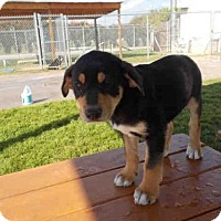 Adopt A Pet :: A010515 - Rosenberg, TX