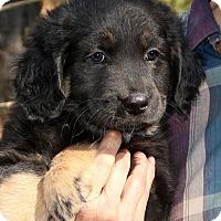 Adopt A Pet :: Licorice - Burbank, OH