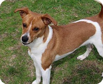 Feist Mix Dog for adoption in Cedar Bluff, Alabama - Bear Bear