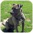 Photo 1 - Pit Bull Terrier Mix Dog for adoption in Petaluma, California - Remi