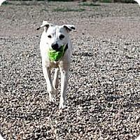 Adopt A Pet :: Chiba - Cedar City, UT