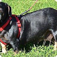 Dachshund Mix Dog for adoption in Simi Valley, California - Noodles