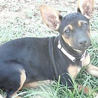 Adopt A Pet :: Harper - Las Cruces, NM