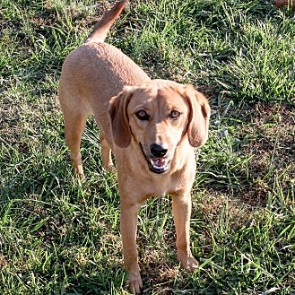 Beagle/Labrador Retriever Mix Puppy for adoption in Russellville, Kentucky - Butterscotch