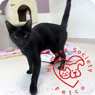 Domestic Shorthair Cat for adoption in Janesville, Wisconsin - Smaug