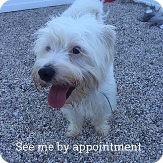 Westie, West Highland White Terrier Mix Dog for adoption in Green Bay, Wisconsin - Willie