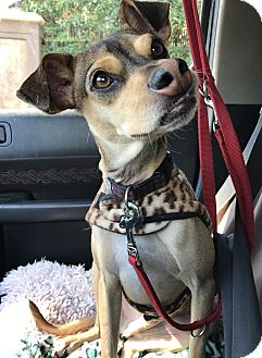Terrier (Unknown Type, Small)/Italian Greyhound Mix Dog for adoption in Los Angeles, California - SCOUT