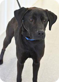 Labrador Retriever Mix Dog for adoption in Freeport, Illinois - Hercules