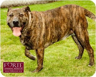 American Pit Bull Terrier Mix Dog for adoption in Marina del Rey, California - Peanut