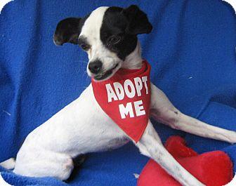 Rat Terrier Dog for adoption in Irvine, California - Ariana(Oreo)-WATCH MY VIDEO