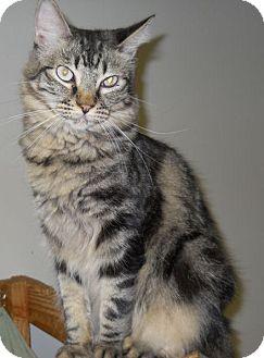 Domestic Mediumhair Cat for adoption in Ridgecrest, California - Gina