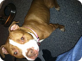 Boxer/Pit Bull Terrier Mix Dog for adoption in Millersville, Maryland - Armetis