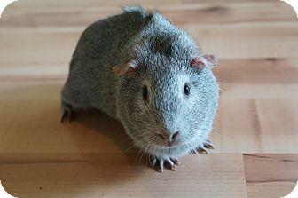 Guinea Pig for adoption in Brooklyn Park, Minnesota - Pepper