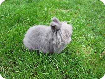 Lionhead for adoption in Seattle c/o Kingston 98346/ Washington State, Washington - Ashley