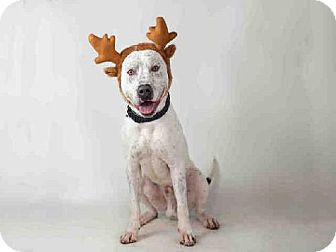 Pointer/Dalmatian Mix Dog for adoption in Beverly Hills, California - Prince