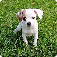 Adopt A Pet :: Scottie - La Habra Heights, CA