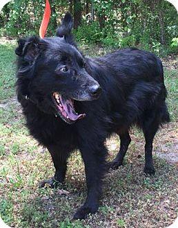 Collie/Chow Chow Mix Dog for adoption in Savannah, Georgia - Gwen