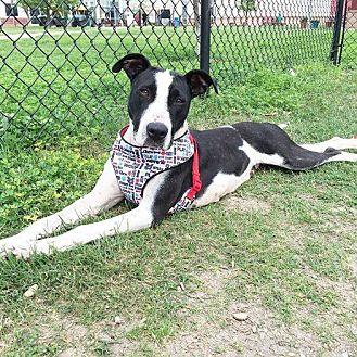 Great Dane/Pointer Mix Dog for adoption in LANSING, Michigan - Diamond