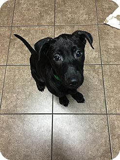 American Staffordshire Terrier/Shepherd (Unknown Type) Mix Puppy for adoption in Rochester Hills, Michigan - Sierra