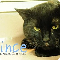 Domestic Shorthair Cat for adoption in Hamilton, Ontario - Prince