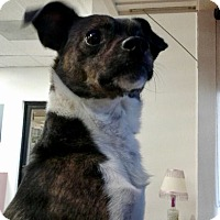 Terrier (Unknown Type, Small) Mix Dog for adoption in Las Vegas, Nevada - amstel