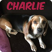 Adopt A Pet :: Charlie - WESTMINSTER, MD