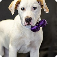 Adopt A Pet :: Simon - Little Rock, AR