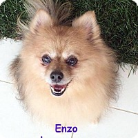 Adopt A Pet :: Enzo - Studio City, CA
