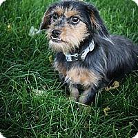 Adopt A Pet :: Yoda - Broomfield, CO