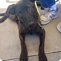 Adopt A Pet :: Casey - Scottsdale, AZ