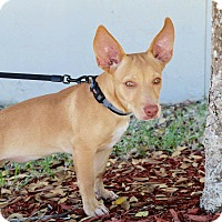 Adopt A Pet :: Pancake - Saint Augustine, FL
