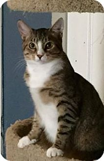 Domestic Shorthair Cat for adoption in Tampa, Florida - Jessie