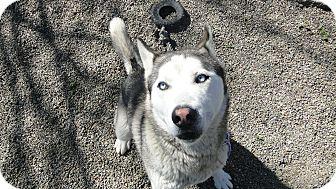 Siberian Husky Mix Dog for adoption in Ripon, California - PATRON